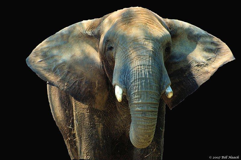 58_DSC_4097 african elephant 051207_1.jpg