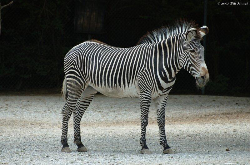 58_DSC_6955 zebra 071307_3.jpg