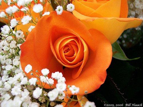 10_100_0762 apricot rose 0801051.jpg