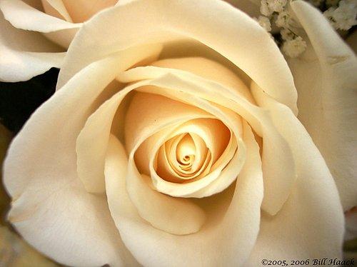 10_100_0767 ivory rose 0801051.jpg
