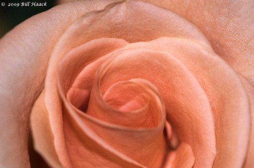 10_DSC_4420 peach rose PUCC 002 012008.jpg