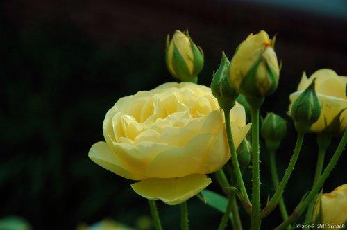 10_DSC_5939 yellow roses 052706.jpg