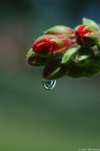 10_DSC_6773 geranium bud h2o drop 061806.jpg