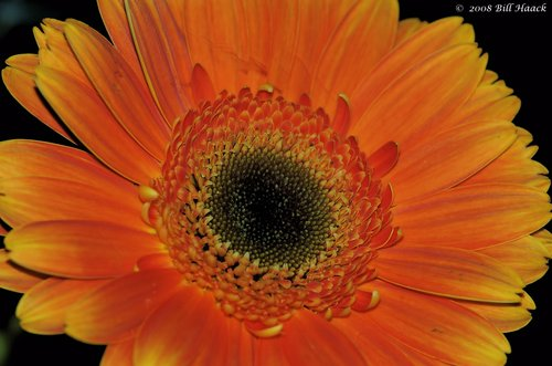 10_DSC_6914 huge daisy like orange 002 042008.jpg