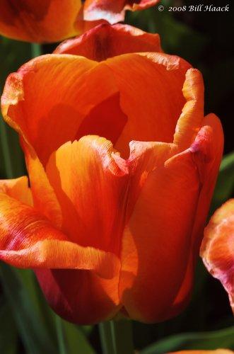 10_DSC_7107 Tulip orange 002 042468.jpg