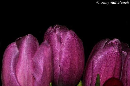 10_DSD1093 violet tulip valentine day 021409.jpg