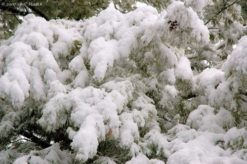 20_DSC_1627 snow on pine limbs 020806.jpg