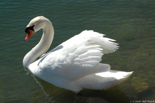 50_DSC_2418 white swan 031406.jpg