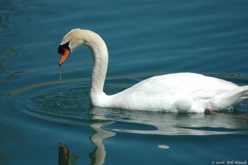 50_DSC_3299 white swan water 040106.jpg