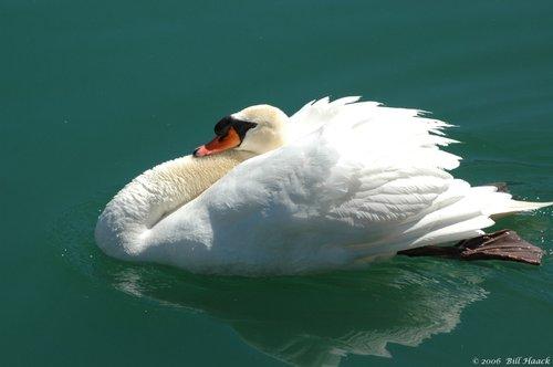 50_DSC_3349 white swan water 040106.jpg