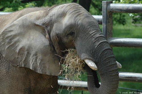 58_DSC_5001 Grants African elephant 050606.jpg