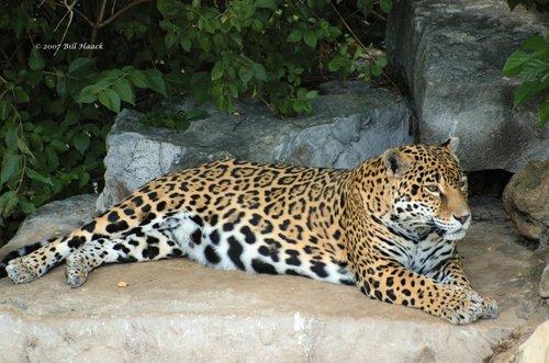 58_DSC_6936 leopard 071307_3.jpg