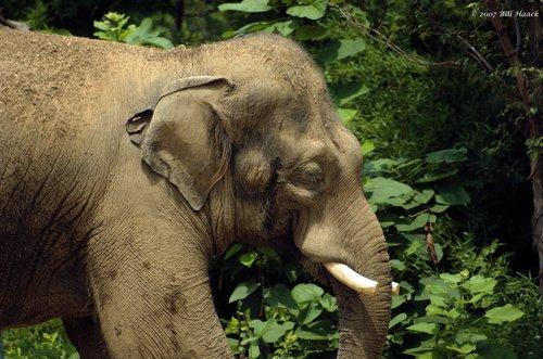 58_DSC_7326 Raj Indian elephant 071307_2.jpg