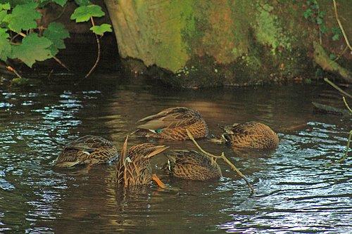 0031 5 ducks ducking.jpg