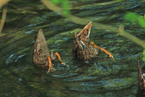 0034 2 ducks ducking.jpg