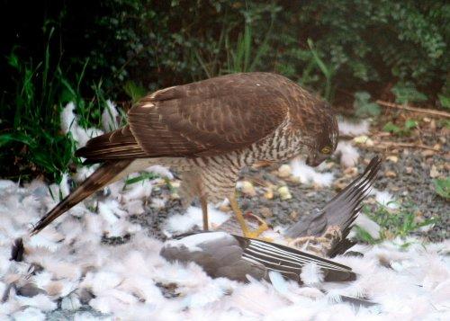 0160 - Sparrowhawk.jpg