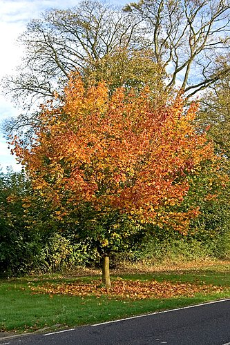 1095-Autumn Sycamore.jpg