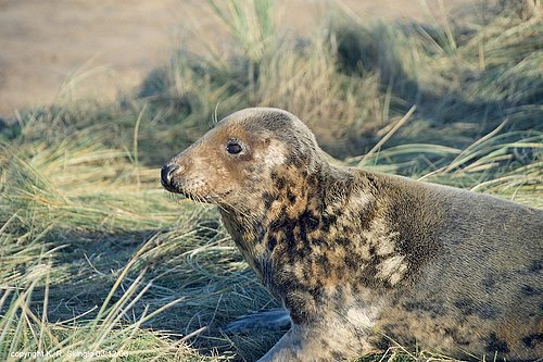 Atlantic Grey Seal - Image 1.jpg