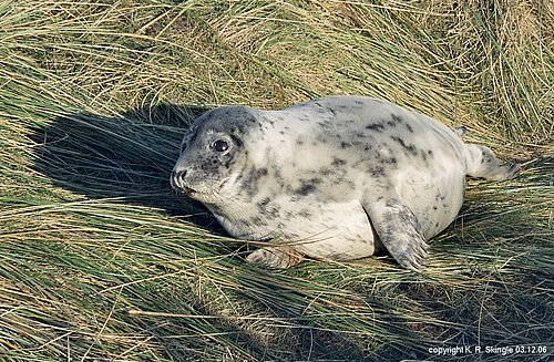 Atlantic Grey Seal - Image 2.jpg