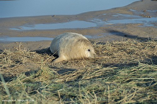 Atlantic Grey Seal - Image 3.jpg