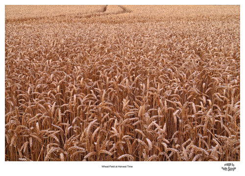 Wheat-Field-Harvest.jpg