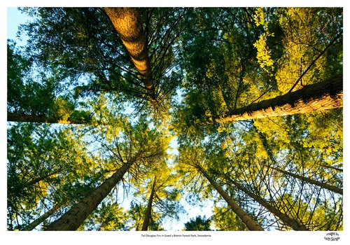 Tall-Douglas-Firs-Goed-y-Brenin-Forest-Park.jpg