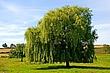 0048 Weeping Willow.jpg