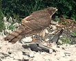 0164 - Sparrowhawk.jpg