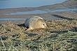 Atlantic Grey Seal - Image 3.jpg