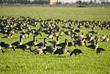 Aleutian Goose Flock 3 DSC_5582.jpg
