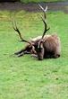Bull Elk DSC_1630e.jpg