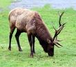 Bull Elk DSC_1632e.jpg