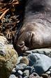 Elephant Seal  _D3C6303_1.jpg