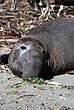 Elephant Seal Posing.jpg