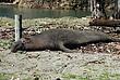 Elephant Seal Sleeping.jpg