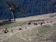 Elk Herd DSCN2581A.jpg
