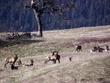 Elk Herd DSCN2583A.jpg