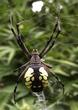 Garden Spider - Argiope aurantia  DSCN5540_1.jpg