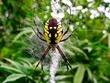 Garden Spider - Argiope aurantia  DSCN5547_1.jpg