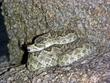 Green Mojave Rattlesnake  DSCN1510_1.jpg