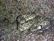 Green Mojave Rattlesnake 2   DSCN1508_1.jpg