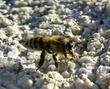 Honey Bee DSCN4785.jpg