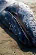 Houda Beach Grey Whale  _D3C1013_1.jpg
