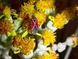 Small Milkweed Bug DSCN5410_1.jpg