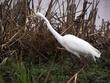 Snowy Egret DSCN2493A.jpg