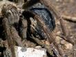 Tarantula DSCN1368e.jpg