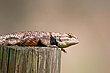 Collared Lizard    _D3C0653_1cc.jpg