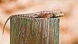 Collared Lizard    _D3C0657_1cc.jpg