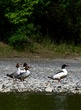 Common Merganser    DSC_6523_1.jpg