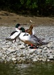 Common Merganser    DSC_6531_1.jpg